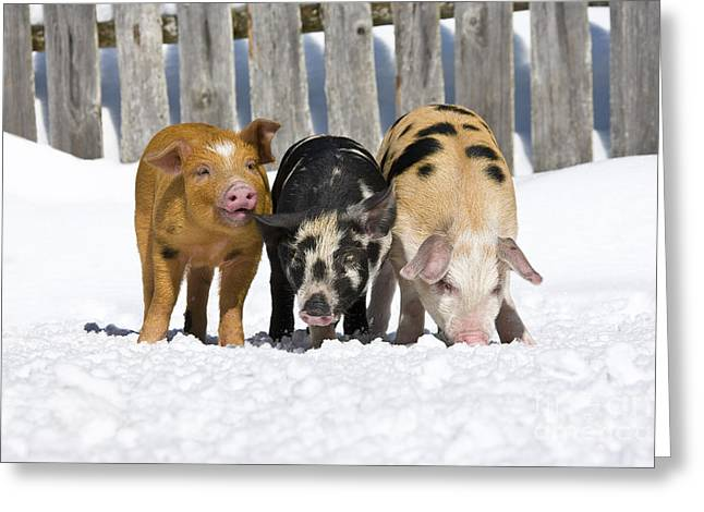Litter Mates Photographs Greeting Cards - Three Piglets Greeting Card by Jean-Louis Klein & Marie-Luce Hubert