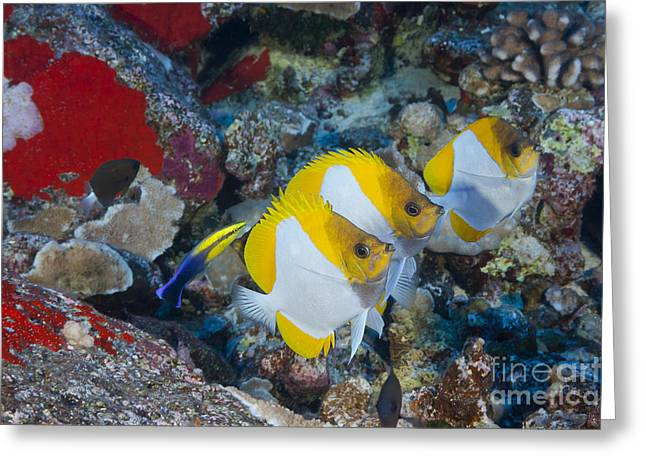 Undersea Photography Greeting Cards - Three Pyramid Butterflyfish Greeting Card by Dave Fleetham