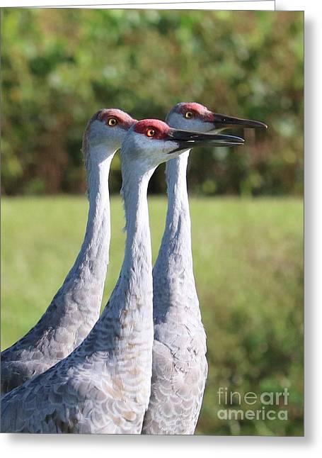 Three Sandhill Cranes On Alert Greeting Card by Carol Groenen