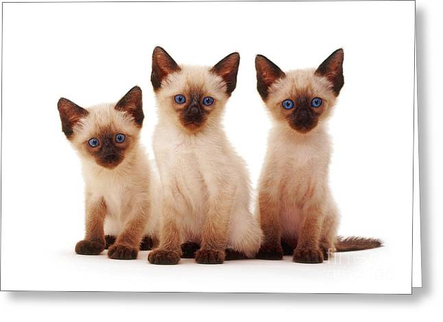 Science Collection - Greeting Cards - Three Siamese Kittens Greeting Card by Jane Burton