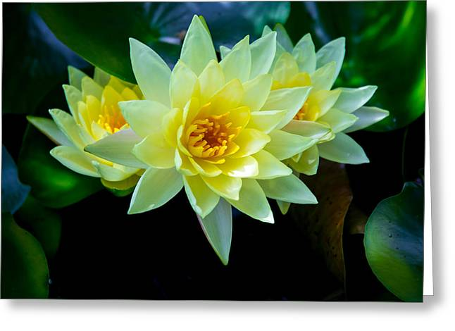 Water Lilly Greeting Cards - Three Sisters Greeting Card by Robert Mullen