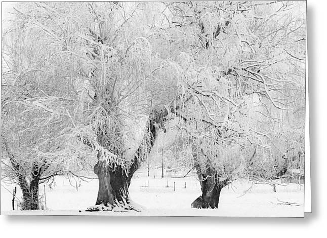 Snow Tree Prints Greeting Cards - Three Snow Frosted Trees in Black and White Greeting Card by James BO  Insogna
