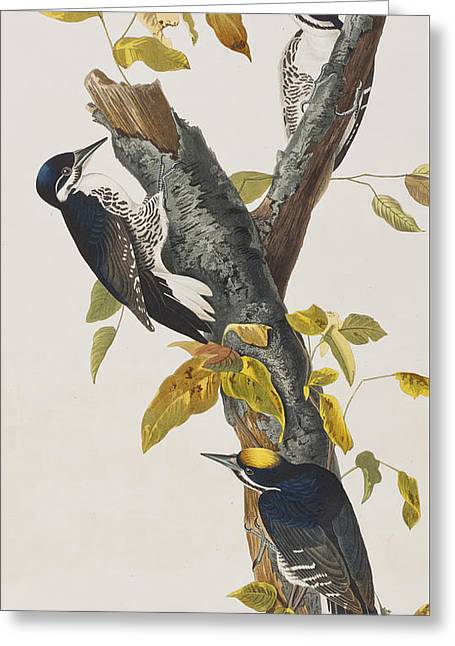 Woodpecker Greeting Cards - Three Toed Woodpecker Greeting Card by John James Audubon