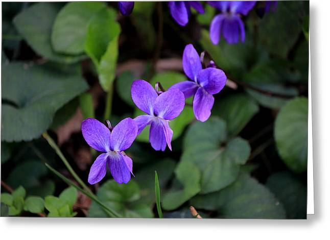 Meadow Greeting Cards - Three violets  Greeting Card by Samantha Mattiello