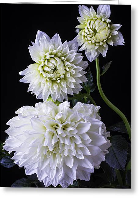 Large White Flower Close Up Greeting Cards - Three White Dahlias Greeting Card by Garry Gay