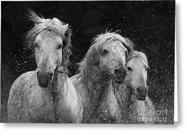 Three White Horses Splash Greeting Card by Carol Walker