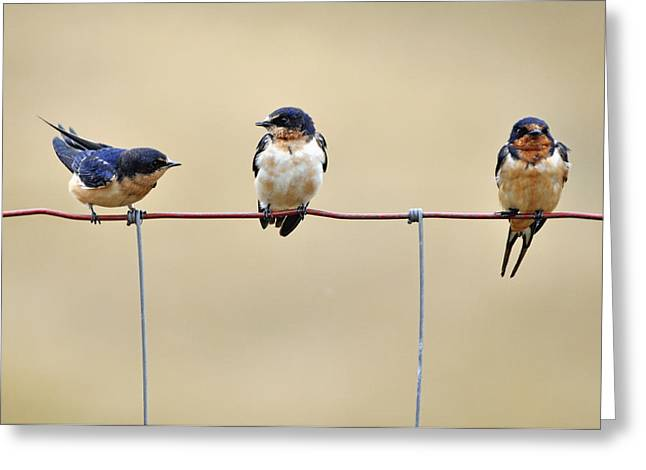 Feeding Birds Greeting Cards - Three Young Swallows Greeting Card by Laura Mountainspring
