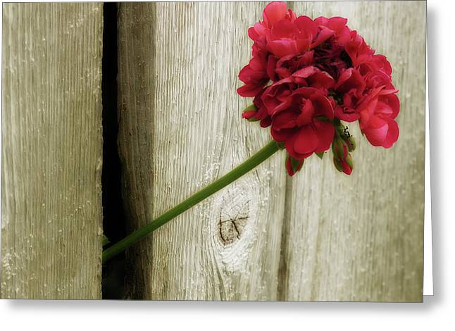 Red Geraniums Mixed Media Greeting Cards - Through Greeting Card by Bonnie Bruno