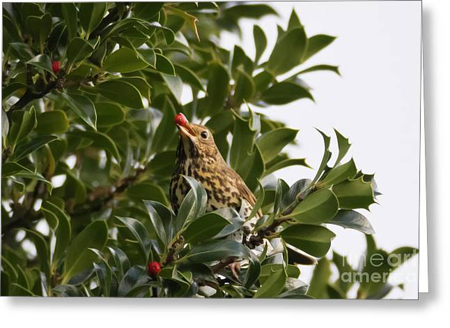 Thrush With A Holly Berry Greeting Card by Terri Waters