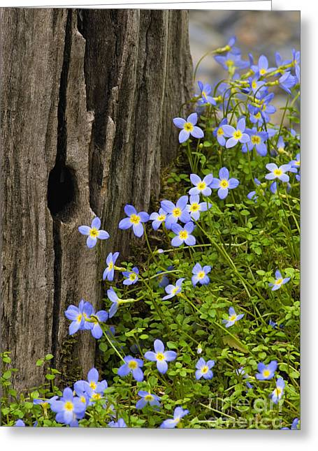 Thyme-leaved Bluets - D008426 Greeting Card by Daniel Dempster