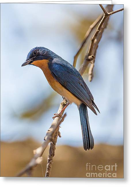 Tickells Blue Flycatcher, India Greeting Card by B. G. Thomson
