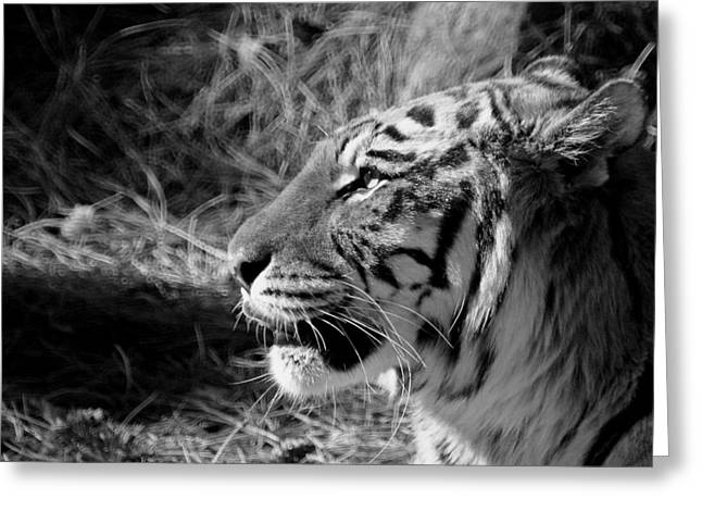 Wildcats Greeting Cards - Tiger 2 BW Greeting Card by Ernie Echols