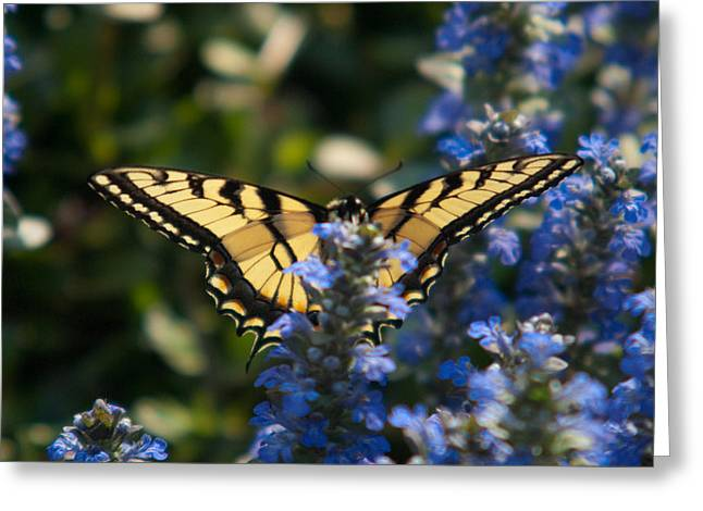 Buterfly Greeting Cards - Tiger Butterfly Visiting Ajuga Greeting Card by Douglas Barnett