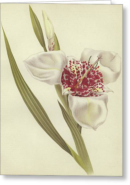 Tiger Flower   Tigridia Pavonia Alba Greeting Card by English School