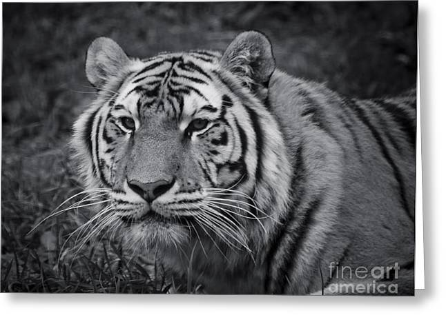 Wildcats Greeting Cards - Tiger in the Grass Greeting Card by Darcy Michaelchuk