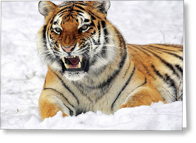 Growling Greeting Cards - Tiger In The Snow Greeting Card by Niel Morley