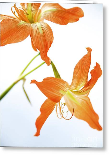 Overexposed Greeting Cards - Tiger Lily 1 Greeting Card by Kicka Witte - Printscapes