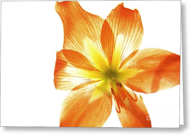 Overexposed Greeting Cards - Tiger Lily 3 Greeting Card by Kicka Witte - Printscapes