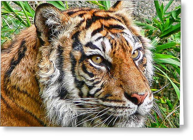 Tiger Portrait Greeting Card by Jennie Marie Schell