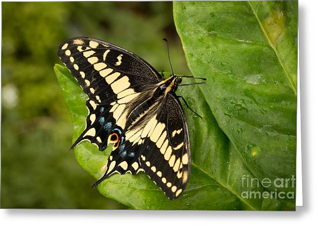 Anise Swallowtail Butterfly Greeting Card by Ana V  Ramirez