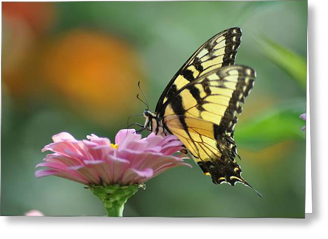 Tiger Swallowtail Butterfly Greeting Card by Bill Cannon