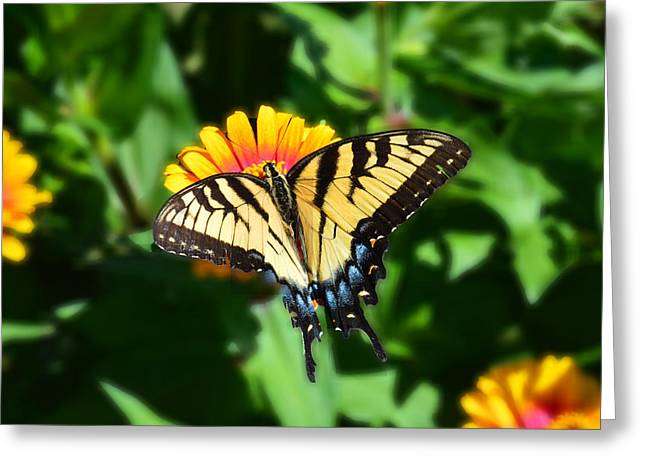 Zinnia Elegans Greeting Cards - Tiger Swallowtail Butterfly Greeting Card by Kathy Kelly