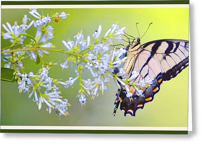 Biology Greeting Cards - Tiger Swallowtail Butterfly on Privet Flowers Greeting Card by A Gurmankin