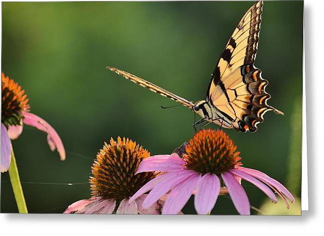 Tiger Swallowtail Greeting Card by JD Grimes