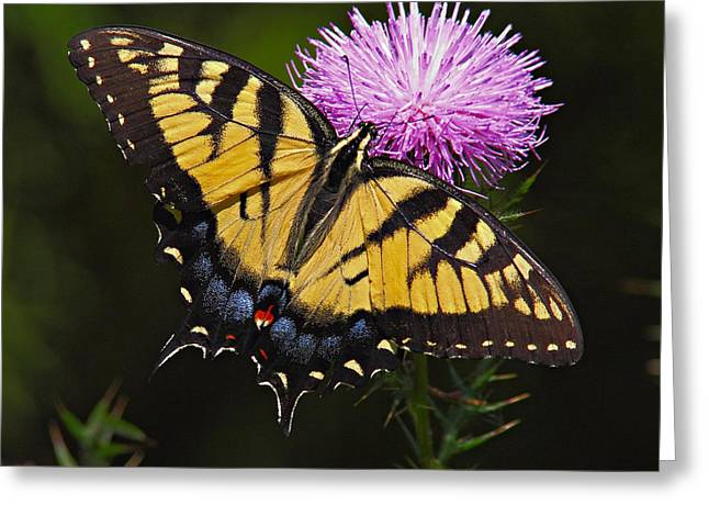 Tiger Swallowtail Greeting Cards - Tiger Swallowtail Greeting Card by William Jobes