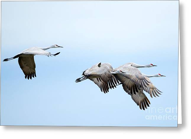 Crane Greeting Cards - Tight Formation Greeting Card by Mike Dawson