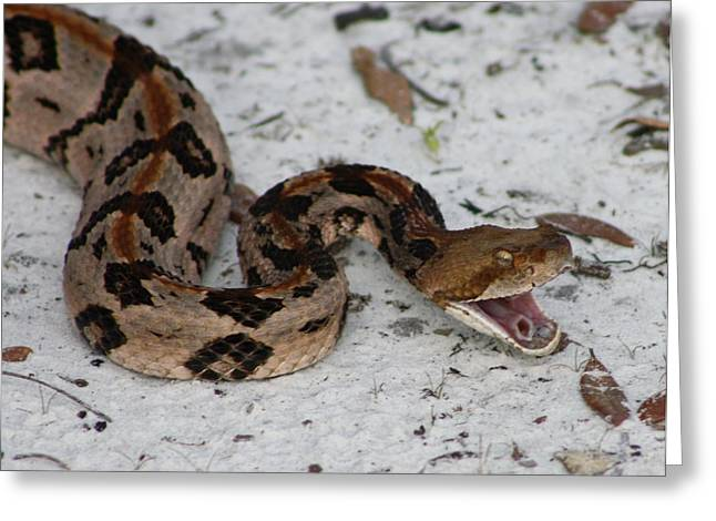 Timber Rattler Greeting Card by Dana  Oliver