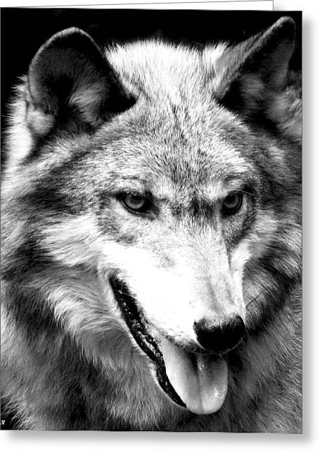 Beautiful Face Wolf Greeting Cards - Timber Wolf Greeting Card by Debra     Vatalaro