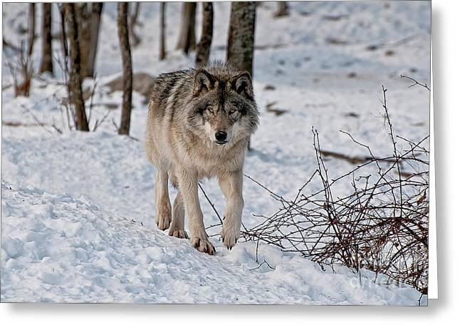 Timber Wolf In Snow Greeting Card by Michael Cummings