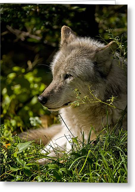 Black. Timber Wolf Photography Greeting Cards - Timber Wolf Portrait Greeting Card by Michael Cummings
