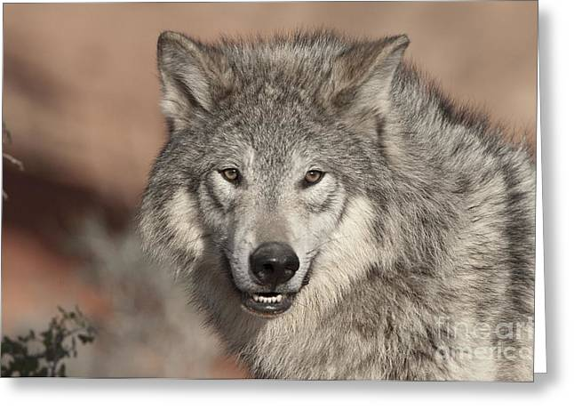 North American Wildlife Photographs Greeting Cards - Timber Wolf Portrait Greeting Card by Sandra Bronstein