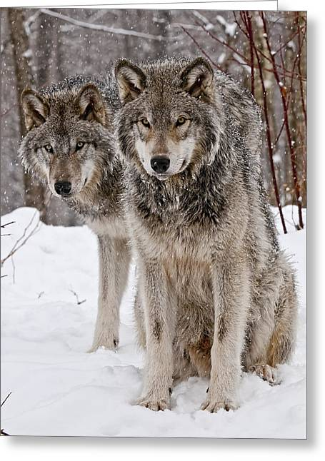 Michael Cummings Greeting Cards - Timber Wolves in Winter Greeting Card by Michael Cummings