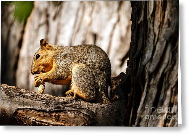 Eastern Fox Squirrel Greeting Cards - Time For A Peanut Greeting Card by Robert Bales