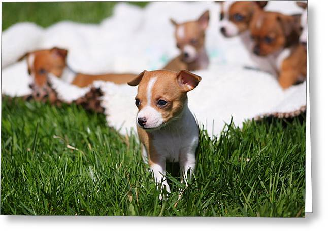 Puppies Photographs Greeting Cards - Time to Explore Greeting Card by Chihuahua Kisses