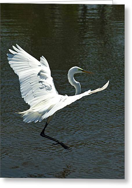 Great Egret Greeting Cards - Time To Land Greeting Card by Carolyn Marshall