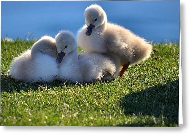 Water Fowl Greeting Cards - Time To Snuggle Greeting Card by Deb Halloran