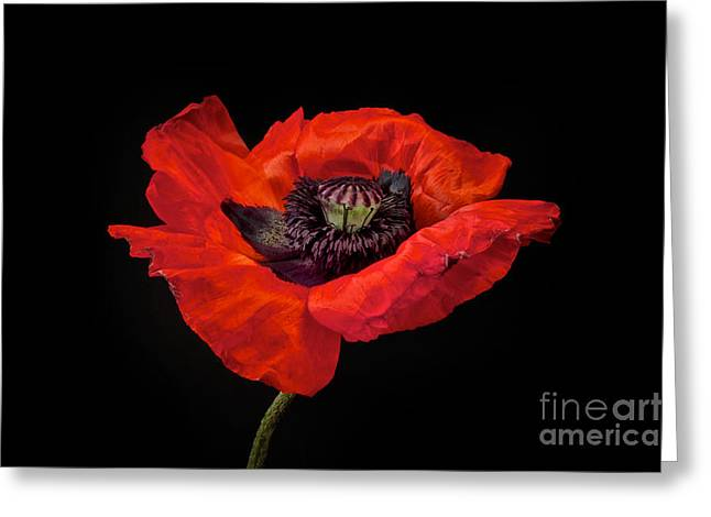 Red Art Greeting Cards - Tiny Dancer Poppy Greeting Card by Toni Chanelle Paisley