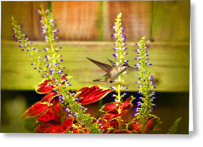 Hovering Greeting Cards - Tiny Humming Visitor Greeting Card by Olahs Photography