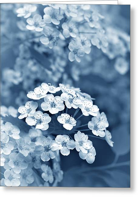 Spirea Greeting Cards - Tiny Spirea Flowers in Blue Greeting Card by Jennie Marie Schell