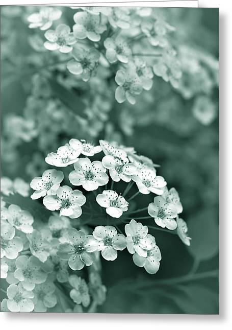 Spirea Greeting Cards - Tiny Spirea Flowers in Teal Greeting Card by Jennie Marie Schell