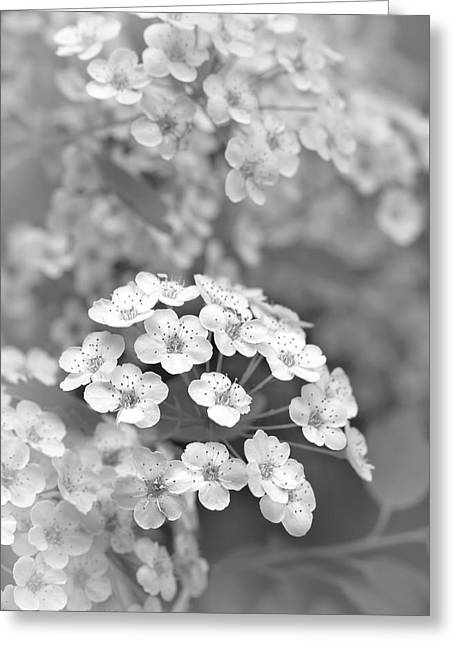 Spirea Greeting Cards - Tiny Spirea Flowers Monochrome Greeting Card by Jennie Marie Schell