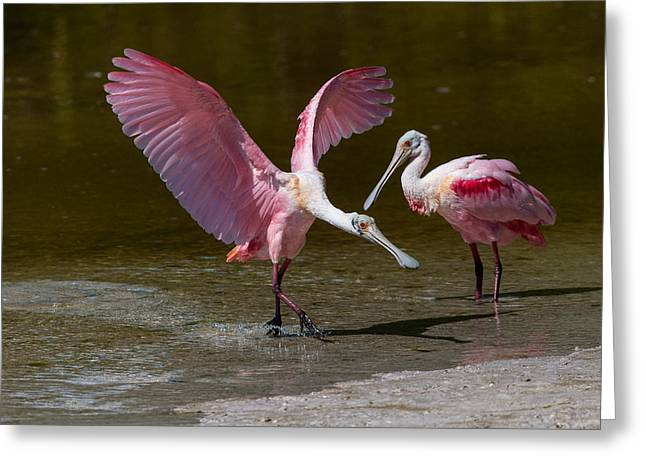 J N Ding Darling National Wildlife Refuge Greeting Cards - Tip-Toe Landing Greeting Card by Robert Panozzo