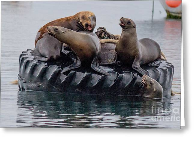 Sea Lions Greeting Cards - Tire Floating Sea Lions  Greeting Card by DJ Laughlin