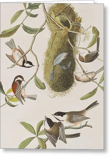 Capt. America Greeting Cards - Titmouses Greeting Card by John James Audubon