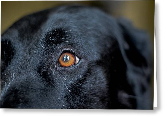 Mixed Labrador Retriever Greeting Cards - To See In Her Eyes Greeting Card by Richard Booth