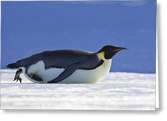 Laying On Stomach Greeting Cards - Tobogganing Emperor Penguin Greeting Card by Jean-Louis Klein & Marie-Luce Hubert